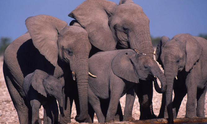 "Two African wildlife organisations are coordinating their fight against the illegal ivory trade by bringing in trained sniffer dogs which will be deployed at Kenya's international airport, the railways, border entry points and at Mombasa Port. The African Wildlife Foundation (AWF) has partnered with the Kenya Wildlife Service (KWS), the Daily Nation reported on Tuesday. ""We are being used as a conduit for the illegal trade through the port of Mombasa. Our port still remains the largest facility being used for trafficking of the trophies and that is why we are enhancing our efforts in collaboration with the government to deal with this menace,"" said AWF head of species conservation Philip Muruthi. The sniffer dogs, which include Malinois and German Shepherds, will be handled by seven trained handlers who graduated from Tanzania's AWF's training school. The dogs' sense of smell is 400 times stronger than that of people. More than 35,000 elephants are slaughtered across the African continent annually while three rhinos are killed every day. The poachers smuggle the ivory and rhino horn from Africa to other countries where it is sold. Source: ANA