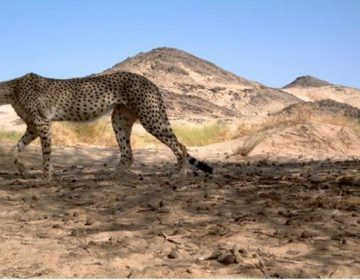 Endangered Saharan Cheetah Spotted for First Time In A Decade