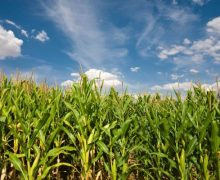 Zambia Maize Harvest Increases by 69 Percent